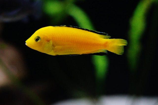 Labidochromis caeruelus Mbowe Island