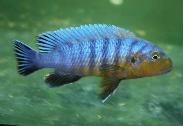 Pseudotropheus purpuratus