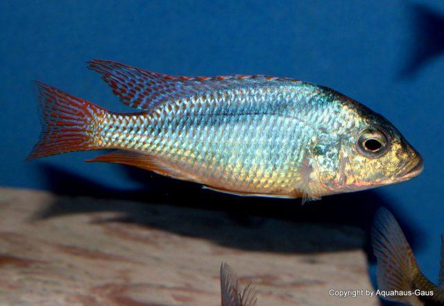 Mylochromis anaphyrmus