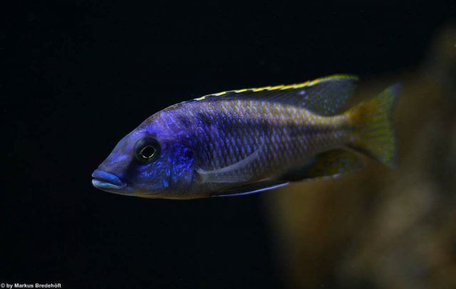 Mylochromis sp. 'lateristriga makanjila' (samec)