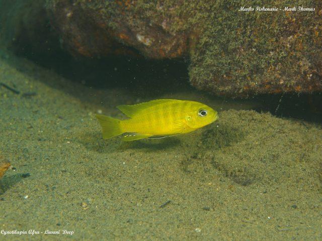 Cynotilapia sp. 'lion ntekete' Liwani (samec)
