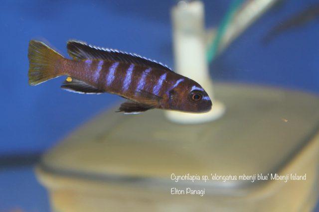 Cynotilapia sp. 'elongatus mbenji blue'