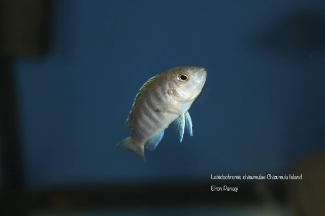 Labidochromis chisumulae Chizumulu Island (samice)