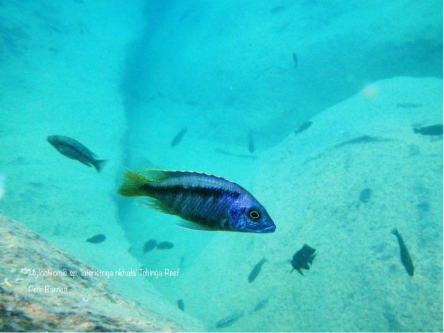 Mylochromis sp. ,lateristriga nkhata' Tchinga Reef