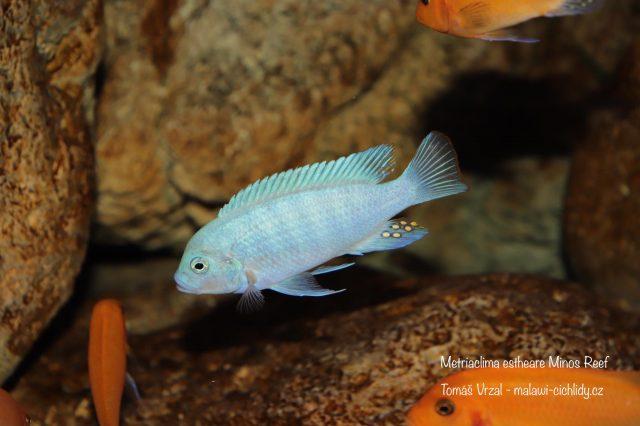 Metriaclima estherae Minos Reef (samec)