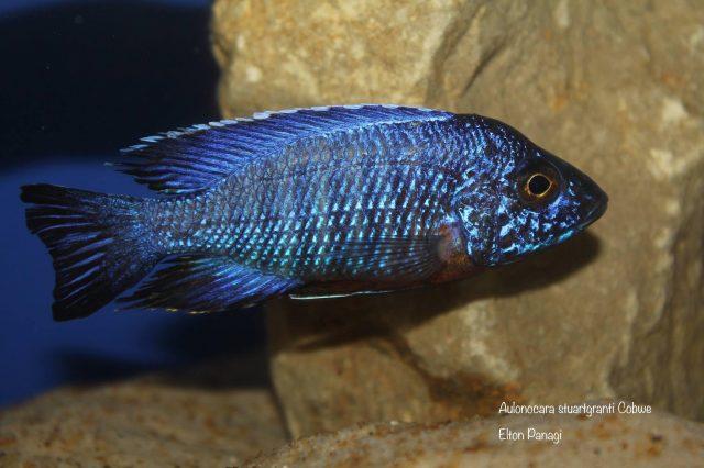 Aulonocara stuartgranti Cobwe (samec)