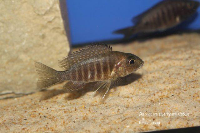 Aulonocara stuartgranti Cobwe (samice)