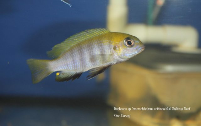 Tropheops sp. 'macrophthalmus chitimba blue'