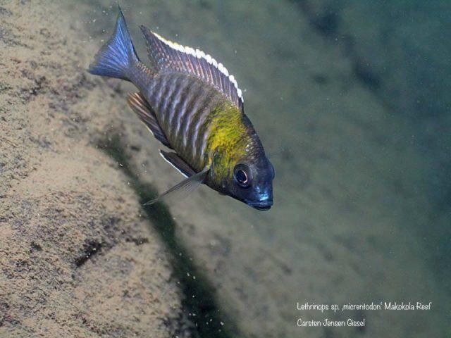 Lethrinops sp. ,micrentodon'(samec)
