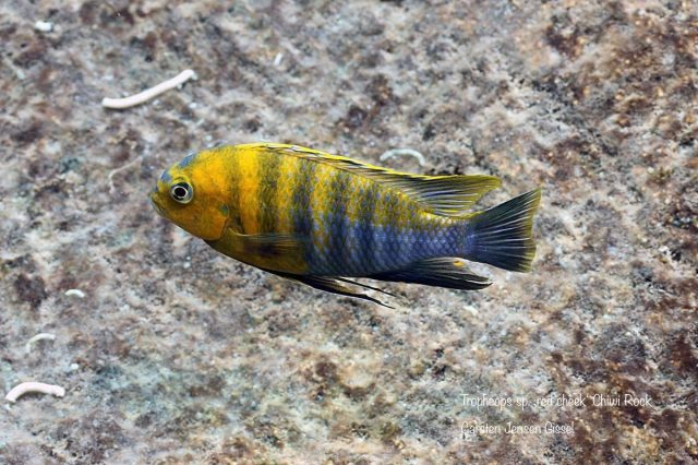 Tropheops sp. 'red cheek' Chiwi Rock (samec)