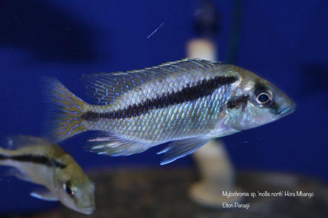 Mylochromis sp. 'mollis'