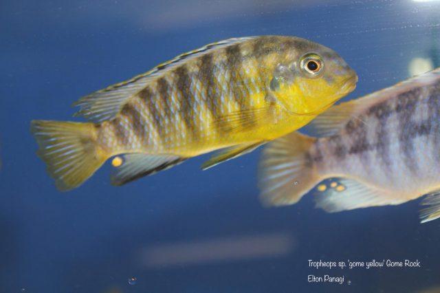 Tropheops sp. 'gome yellow' Gome Rock