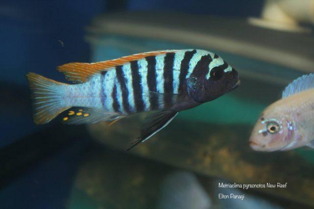 Metriaclima pyrsonotos Kambiri Reef