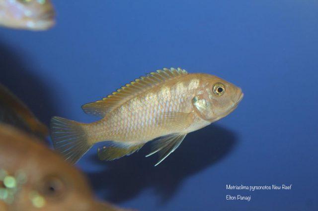 Metriaclima pyrsonotos Kambiri Reef (samice)