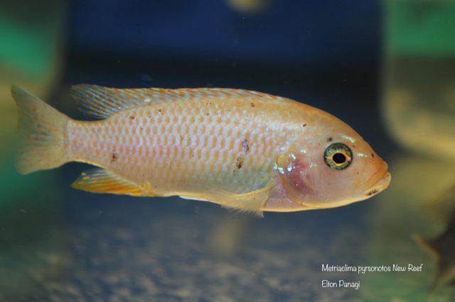 Metriaclima pyrsonotos Kambiri Reef (O samice)