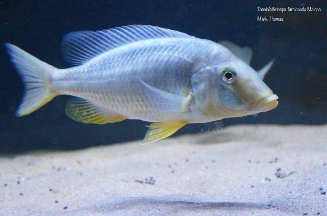 Taeniolethrinops furcicauda Malopa (samice)