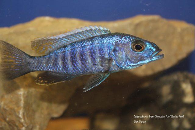 Sciaenochromis fryeri (samec)