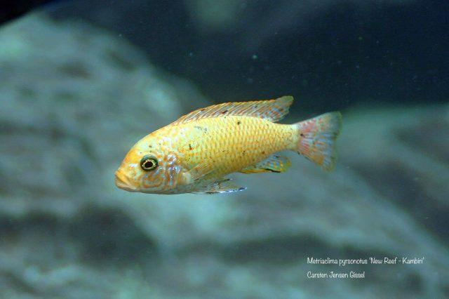 Metriaclima pyrsonotos Kambiri Reef(O samice)