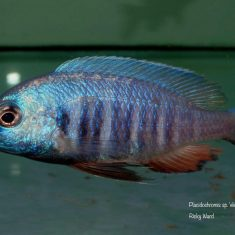 Placidochromis sp. 'electra blue'