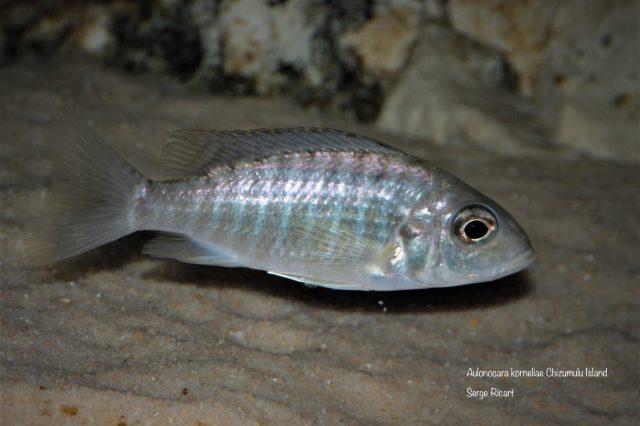 Aulonocara korneliae Chizumulu Island (samice)