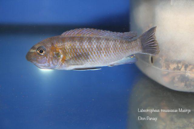 Labeotropheus trewavasaeMasinje (standardní samice)