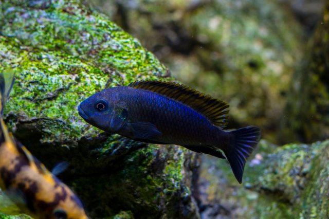 Pseudotropheus galanos (samec)