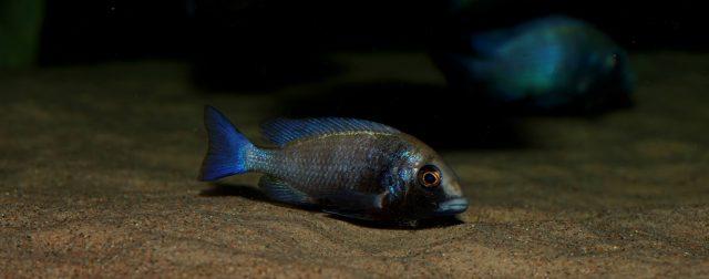 Placidochromis sp. 'phenochilus gissel' (samice)