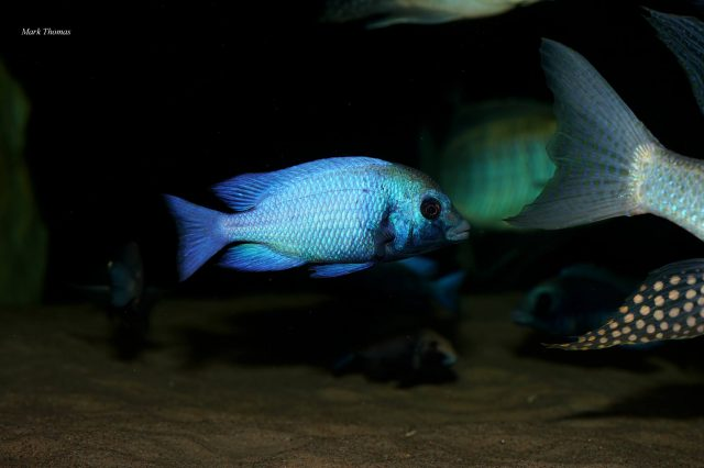 Placidochromis sp. 'phenochilus gissel' (samec)
