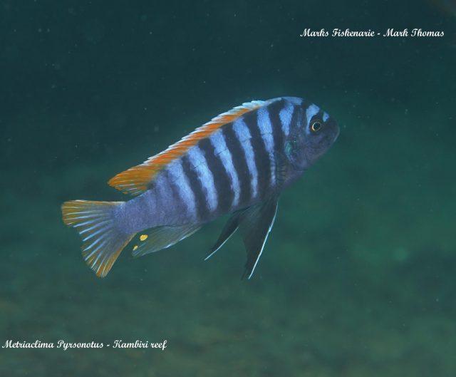 Metriaclima pyrsonotos Kambiri Reef (samec)