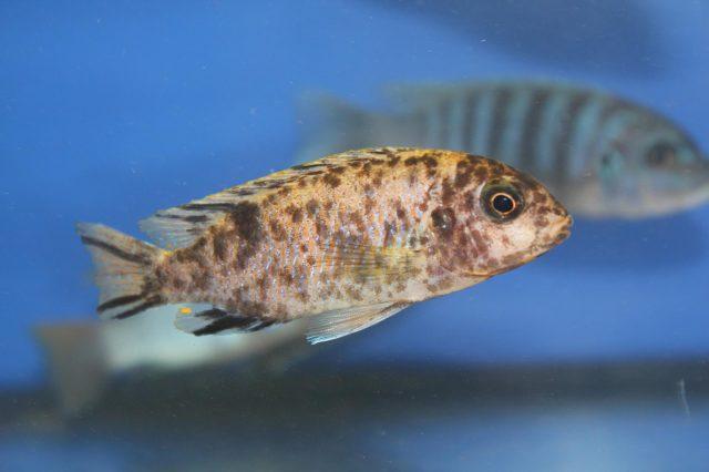Tropheops microstoma Masasa Reef (samice OB)