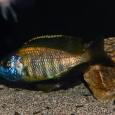 Placidochromis sp. 'mbamba'