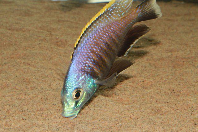 Placidochromis sp. 'blue otter' (samec)