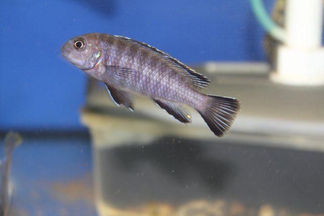 Tropheops modestus (samice)