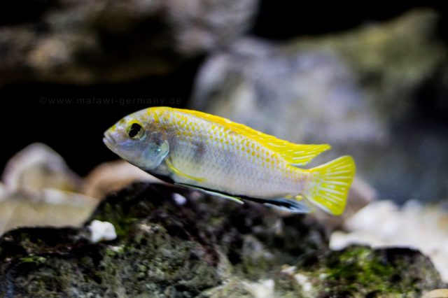 Labidochromis sp. 'perlmutt (samec)