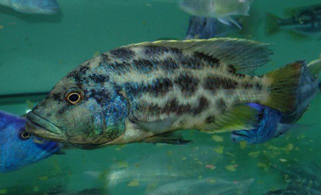 Nimbochromis polystigma (samec)