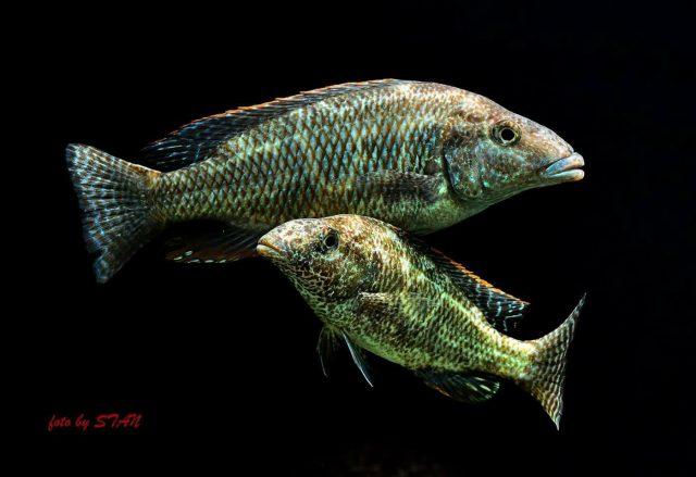 Nimbochromis linni (samec a samice)