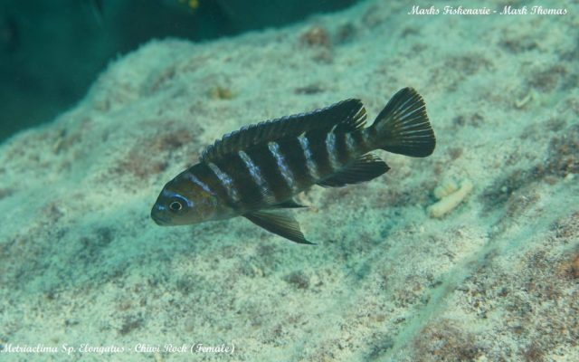 Metriaclima sp. 'elongatus goldbar' (samice)