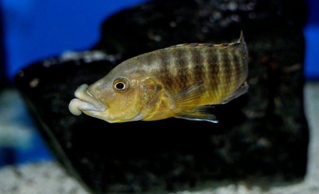 Abactochromis labrosus (samec)