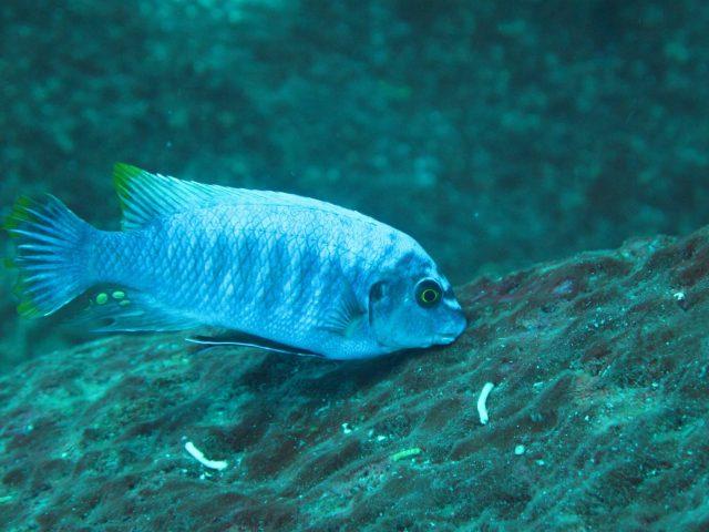 Labeotropheus fuelleborni (8)