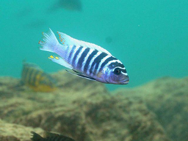 Metriaclima zebra (8)