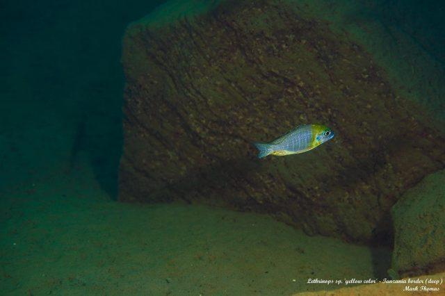 Aulonocara sp. 'yellow collar'