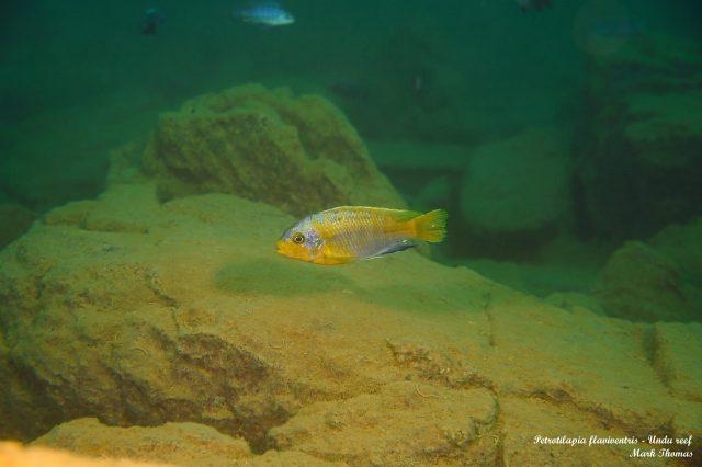 Petrotilapia flaviventris Undu Reef