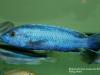Melanochromis kaskazini Manda (samec)