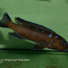 Chindongo sp. ,elongatus spot'