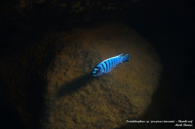Pseudotropheus sp. 'perspicax tanzania' Kitenge Rocks