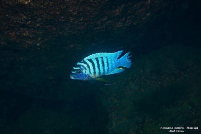 Metriaclima fainzilberi Higga Reef (samec)