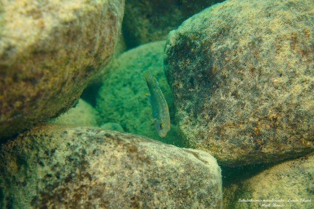 Labidochromis maculicauda Lundo Island