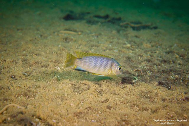 Tropheops sp. 'aurora' Higga Reef (samec)