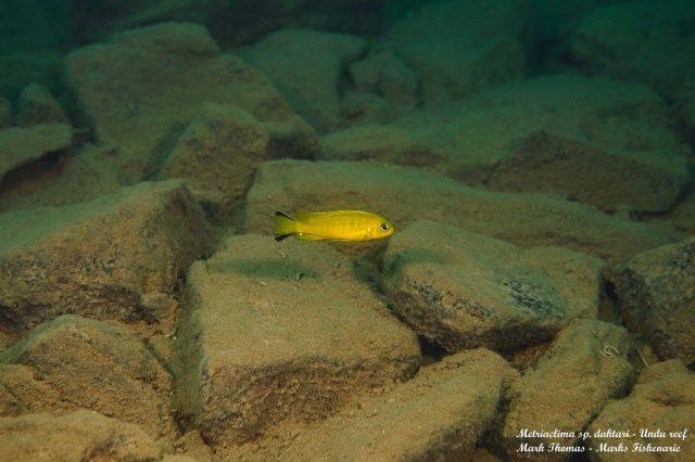 Metriaclima sp. 'daktari' Undu Reef (samec)