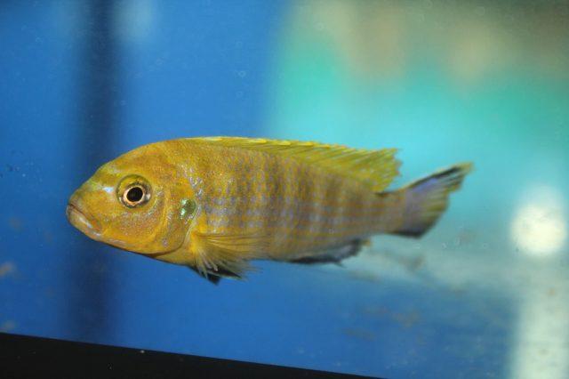 Metriaclima sp. 'lime nkhomo' Nkhomo Reef